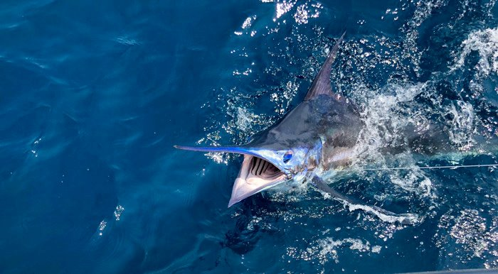 Grady's 45-foot center console, the Canyon 456, excels in blue marlin releases at annual fishing tournament.